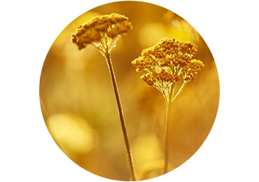 IMMORTELLE<br>ESSENTIAL OIL