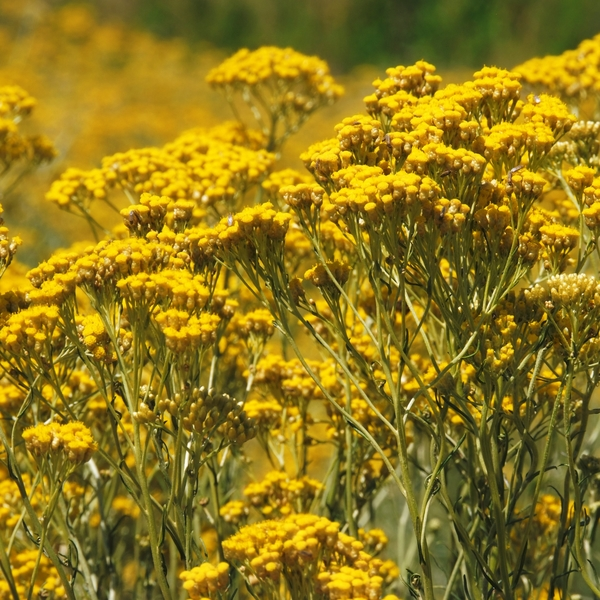 Immortelle flowers